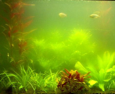 Battling green water for My fish tank water is cloudy